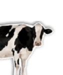 Image of Cow with transparent background
